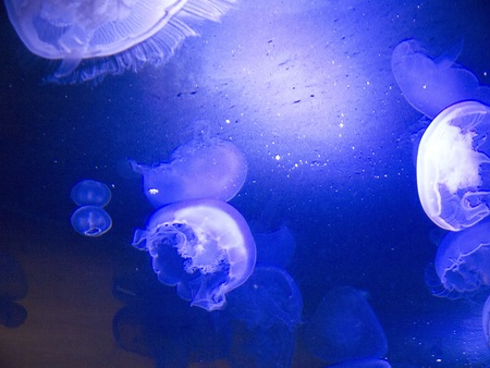 Jellyfish in Oregon Aquarium in Newport Oregon USA Stock Photo - 17172352