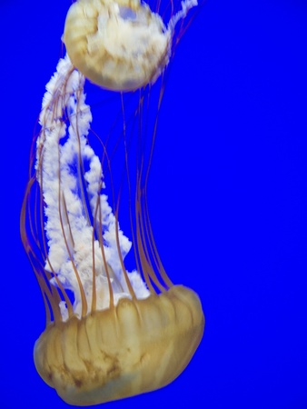 Jellyfish in Oregon Aquarium in Newport Oregon USA Stock Photo - 17172251
