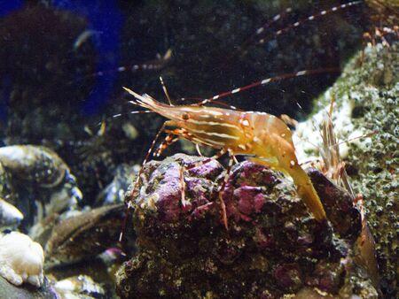 shrimp in Oregon Aquarium in Newport Oregon USA Stock Photo - 17172357