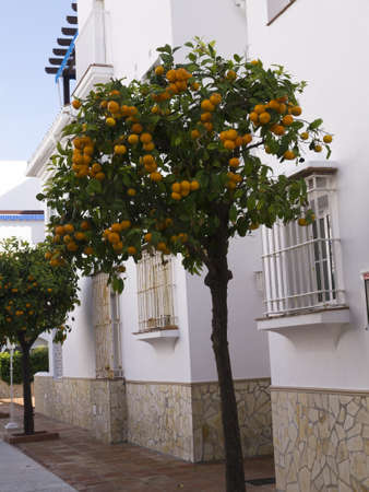 Oranges growing in the streets of Nerja Andalucia Spain Stock Photo - 17287498
