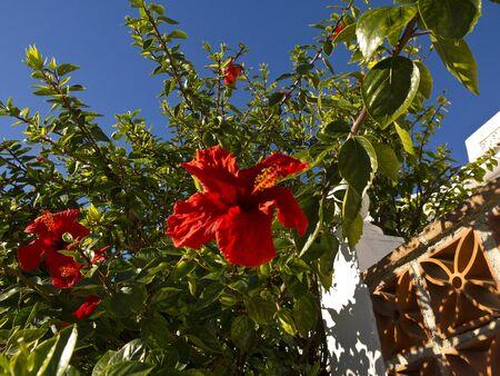 Hibiscus Flower in Nerja Spain Stock Photo - 17346777