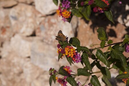 burriana beach: Butterfly on Buddleia bush in Nerja Spain