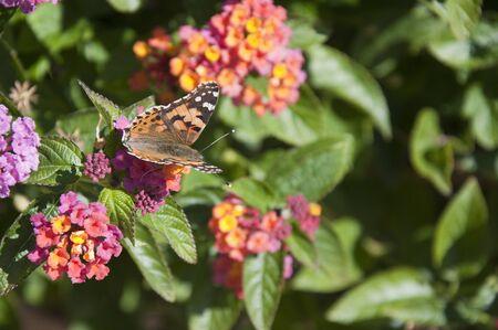 Butterfly on Buddleia bush in Nerja Spain Stock Photo - 17561954