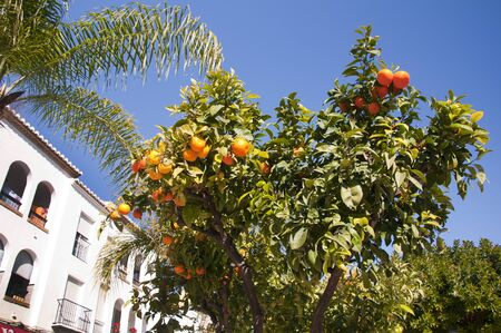 burriana beach: Oranges growing in the streets of Nerja Andalucia Spain