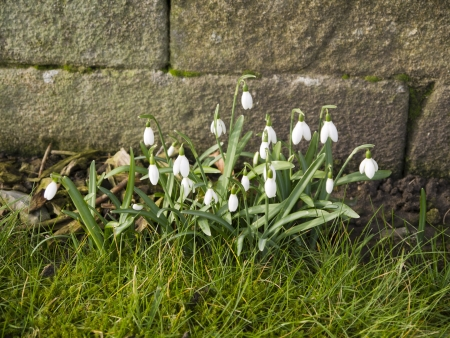 Snowdrops around the Cathedral in Ripon Yorkshire
