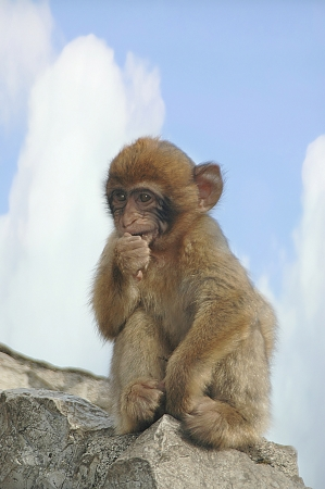 barbary ape: Baby Barbary Ape on the Rock of Gibraltar