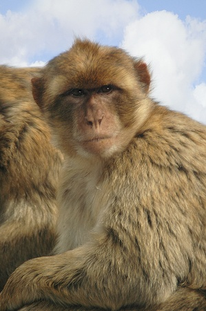 barbary ape: Watching Barbary Ape on the Rock of Gibraltar