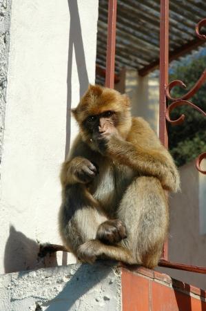barbary ape:  Barbary Ape on Rock of Gibraltar