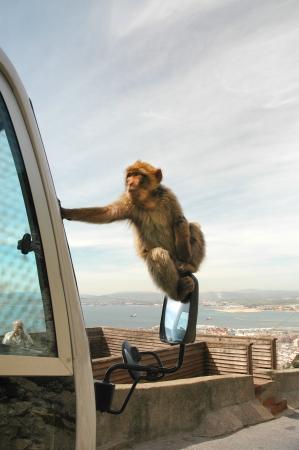 barbary ape: Cheeky Barbary Ape on the Rock of Gibraltar Stock Photo