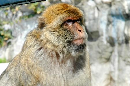 barbary ape: Alpha Male Barbary Ape on Rock of Gibraltar Stock Photo