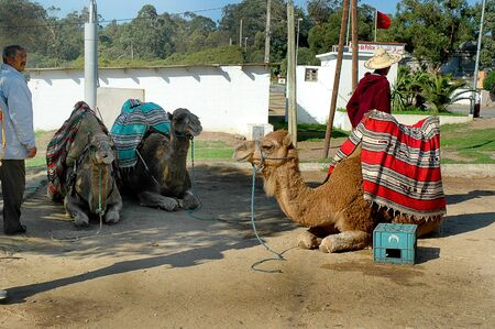 brenda kean: Camels in Tangiers Morocco Africa Editorial