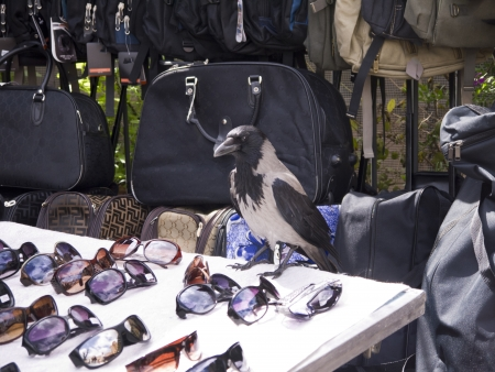 Hooded Crow inspecting sunglasses in Rome Italy