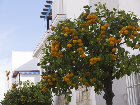 Oranges growing in the streets of Frigiliana Andalucia Spain