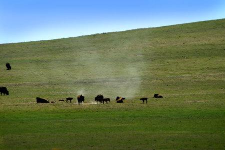 Buffalo near Zion National Park In Utah