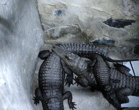 Nile Crocodiles kept for good luck in Nubian House on the Banks of the River Nile in Egypt