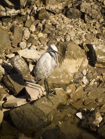 white nile: Ibis blanco en la orilla del r�o Nilo, en Egipto