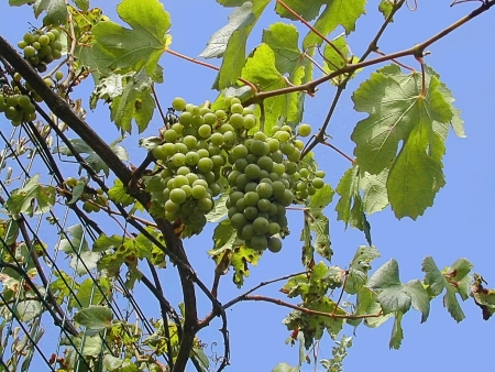 sant agata: Grapes growing in Sant Agata on the Sorrentine Peninsular Italy Editorial