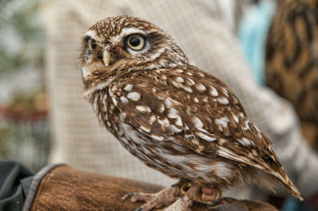 rescued: Rescued European Little Owl in Skipton North Yorkshire