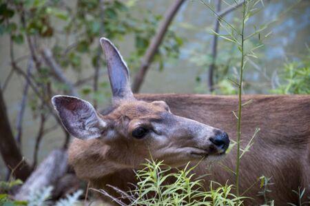 Mule Deer in Zion National Park in Utah USA photo