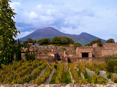 Vineyard in the once buried city of Pompeii Italy