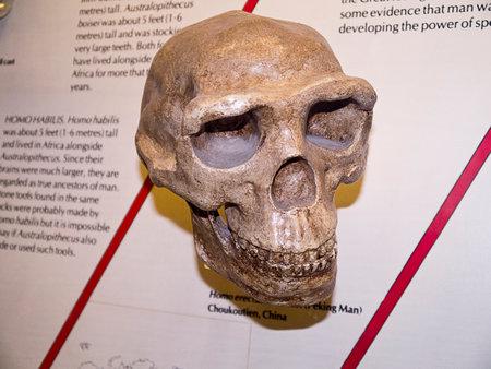 erectus: Homo Erectus Skull in Museum Editorial