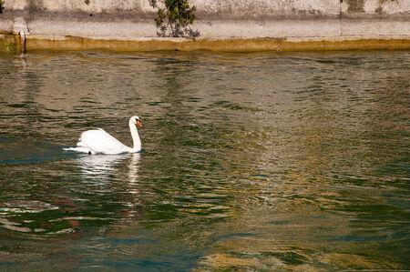 sirmione: Swan at Sirmione on Lake Garda Italy Stock Photo
