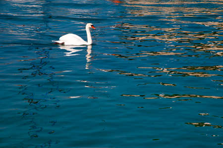 Swan at Sirmione on Lake Garda Italy photo