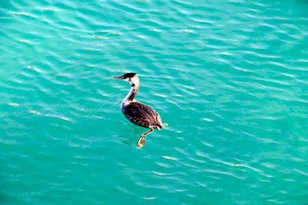 sirmione: Grebe at Sirmione Lake Garda Italy