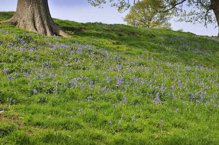 north yorkshire: Bluebells in Bolton Abbey Woods in North Yorkshire