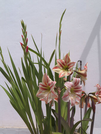 Lilies in Frigiliana one of the most beautiful white villages of the Southern Spain area of Andalucia in the Alpujarra mountains  photo