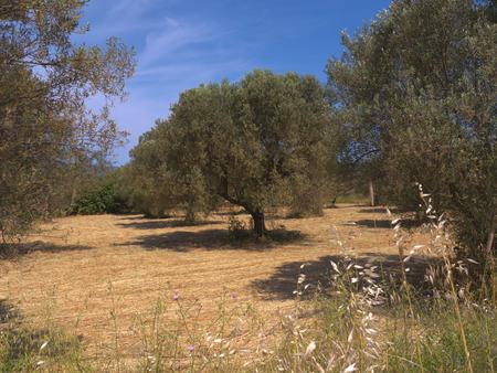 haymaking: live Grove at Skala Kalloni on the island of Lesvos Greece