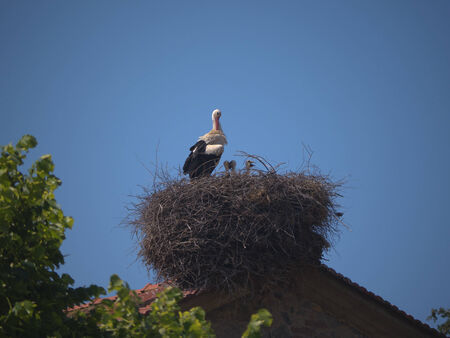 skala: white stork and young in nest at Skala Kalloni on island of Lesvos Greece