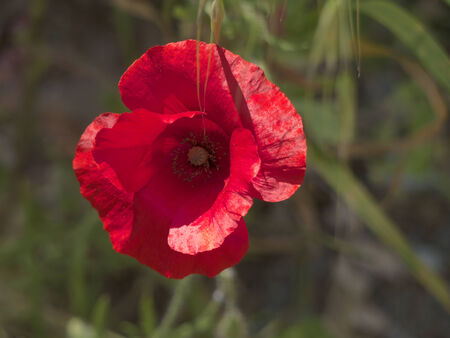 Poppies in Wetlands Nature Reserve in Skala Kalloni Lesvos Greece photo
