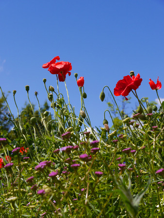 burnley: Wild flowers in Burnley Town Centre Flowerbed in Lancashire