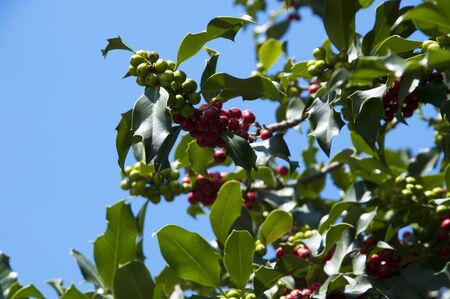 matthias: Holly Tree outside St Matthias Cathedral Budapest Hungary Stock Photo