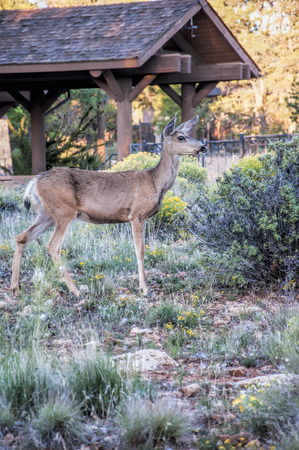 Mule Deer in Hotel Grounds by the Grand Canyon Arizona USA