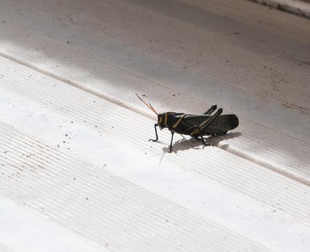 brenda kean: Large Black Grasshopper In Tombstone Arizona USA