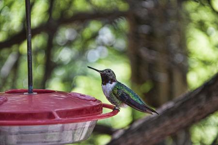 sonora: Hummingbird at the Arizona Sonora Desert  Stock Photo