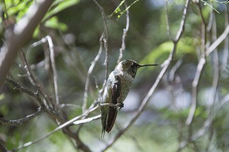 sonora: Hummingbird at the Arizona Sonora Desert