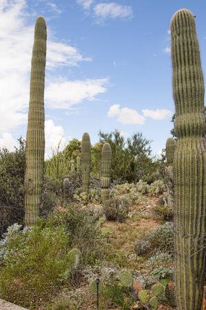 sonora: Saguaro Cactus at the Arizona Sonora Desert