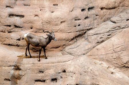 sonora: Female Big Horned Sheep at the Arizona Sonora Desert