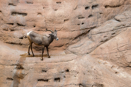 sonora: Female Big Horned Sheep at the Arizona Sonora Desert