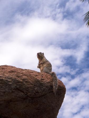 sonora: Squirrel in the Arizona Sonora Desert Museum South of Phoenix Arizona USA Stock Photo
