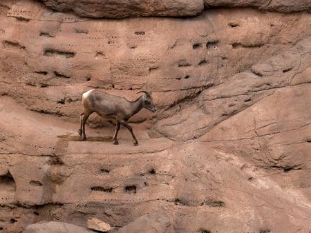 sonora: Bighorned Sheep in the Arizona Sonora Desert Museum South of Phoenix Arizona USA
