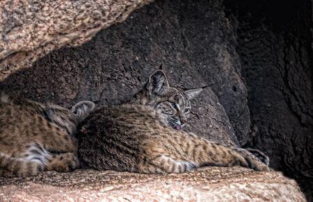 sonora: Wildcats in the Arizona Sonora Desert Museum South of Phoenix Arizona USA