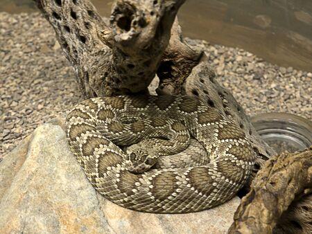 sonora: Diamondback Rattlesnake in the Arizona Sonora Desert Museum South of Phoenix Arizona USA
