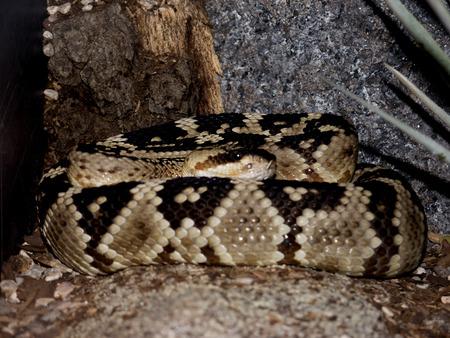 serpiente de cascabel: Diamondback serpiente de cascabel en el desierto de Arizona Sonora Museo del Sur de Phoenix Arizona EE.UU.