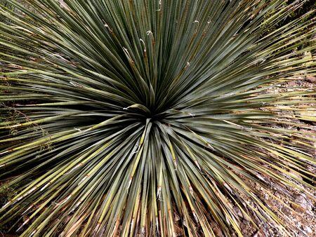 sonora: Flare of Grass The Arizona Sonora Desert  Stock Photo