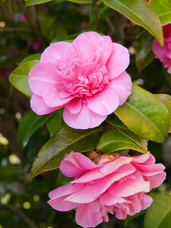 burnley: Beautiful Camellia Flowers in an English Garden in Spring