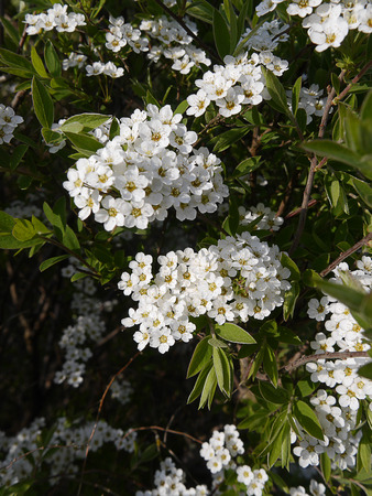 burnley: Beautiful White Blossom Flowers in an English Garden in Spring